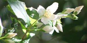 Syringa/State Flower of Idaho