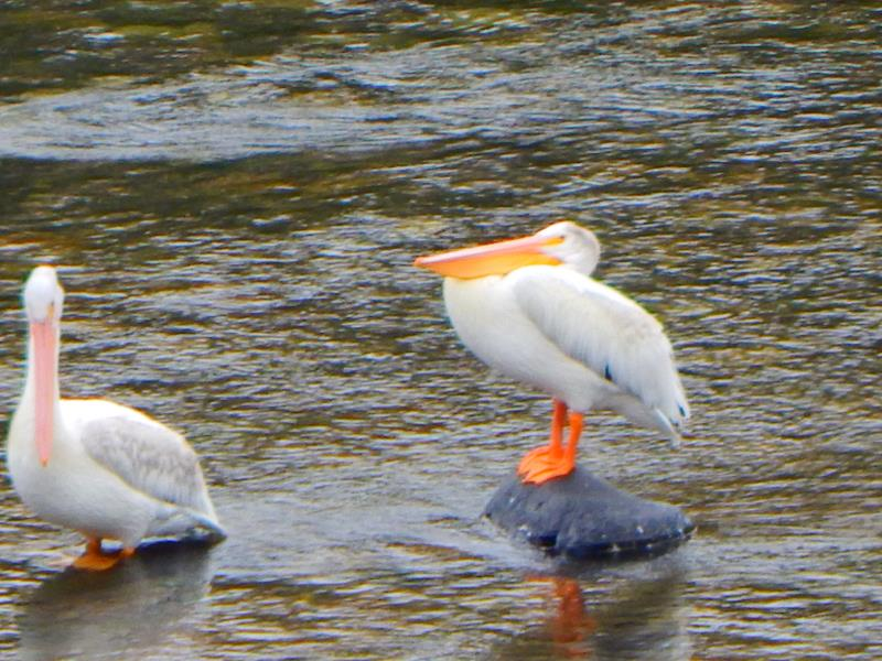 Pelicans on the Salmon River/2016